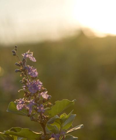 夕焼けに輝く花