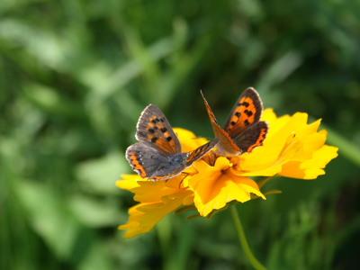 ベニシジミ、蝶が仲良くしている