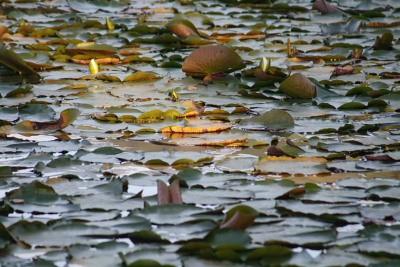 朝日輝く睡蓮の葉