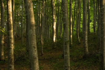朝日差し込む美人林