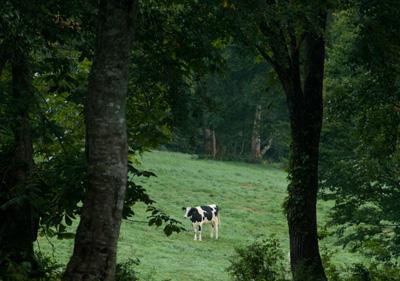 笹ヶ峰牧場の牛