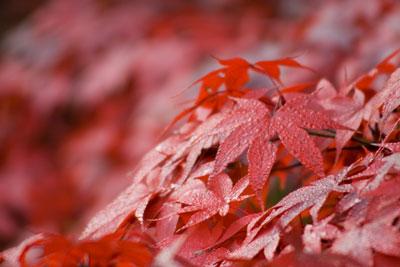 露に染まる紅葉