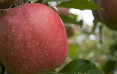リンゴはふじ