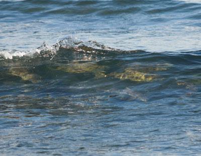 海の中の鮭