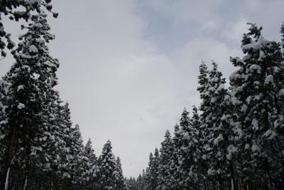 杉並木に雪の景色