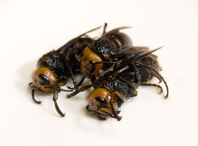スズメ蜂たち