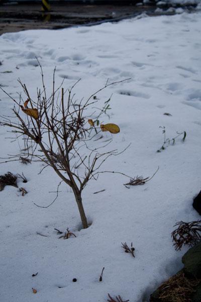 雪の中の枯れ葉