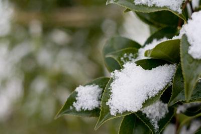 椿に積もった雪