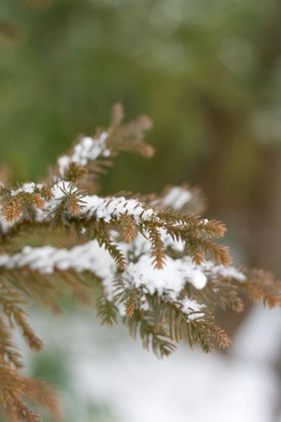 杉に積もった雪