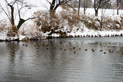 冬に現れる、鴨