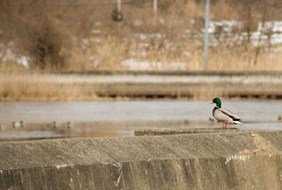 岸に残っていた鴨