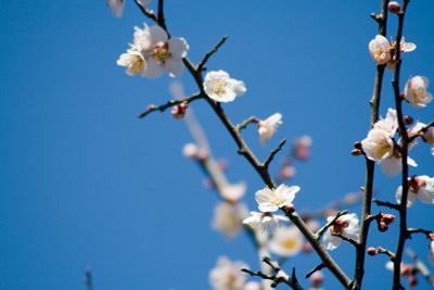 我が家の近くの梅の花