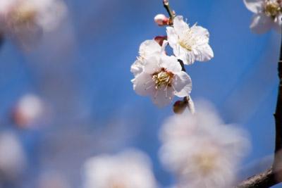 望遠で梅の花