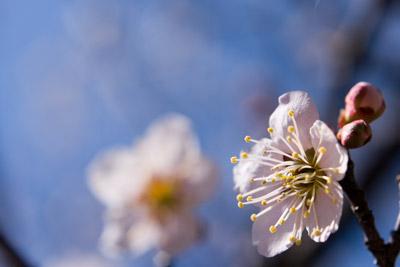 うめの花のおしべ