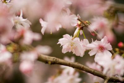 早咲きの種類のサクラ
