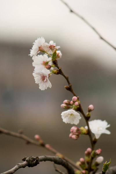 外堀西側の桜