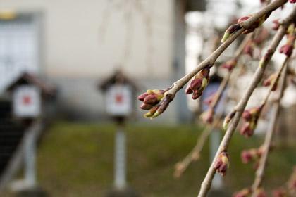 忠霊塔前の枝垂れ桜(シダレザクラ)
