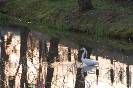 高田公園西堀にいた白鷺(しろさぎ)