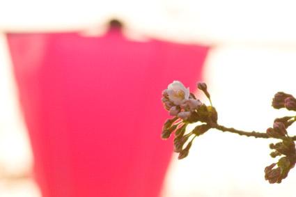 高田公園西側の桜サクラさくら