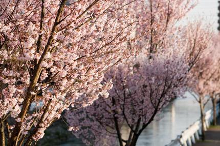 儀明川沿いの小彼岸桜