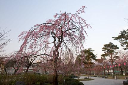 高田公園東側枝垂れ桜