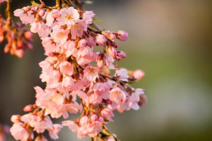朝日に染まる枝垂れ桜