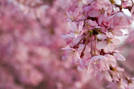ベニシダレの花びらは、可憐で美しい