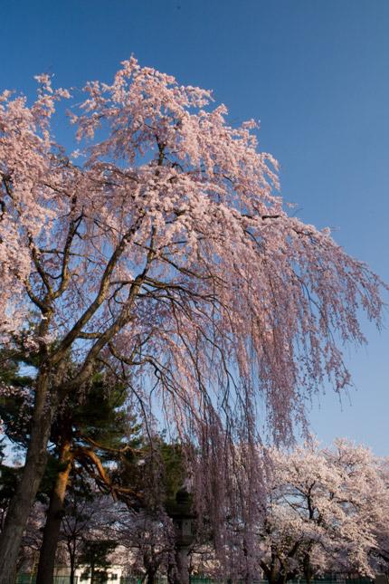 青空に美しく輝く枝垂れ桜