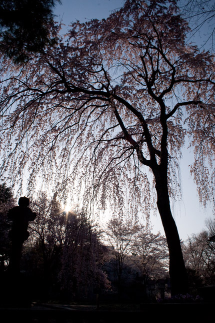 朝日を浴びた後ろ姿の枝垂れ桜