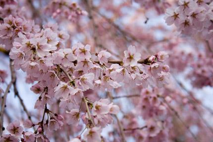 可憐に美しく枝垂れ桜