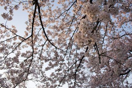 空一杯に咲き誇る桜、さくらロードから