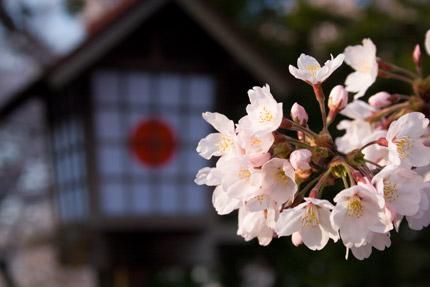 忠霊塔前の染井吉野(ソメイヨシノ)
