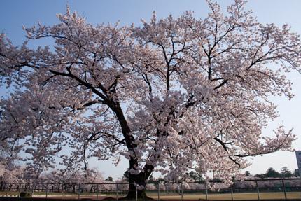 陸上競技場にある大桜