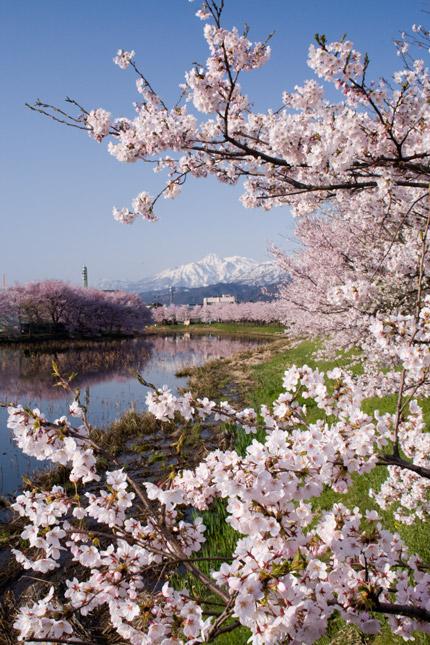 妙高山を望む桜たち