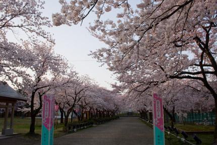 高田公園さくらロード