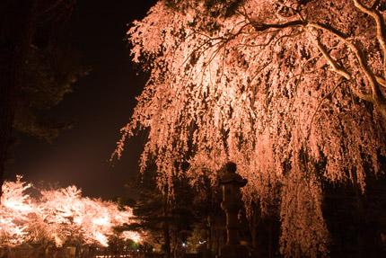 忠霊等前の枝垂れ桜
