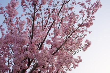 八重紅彼岸桜(ヤエベニヒガンザクラ)