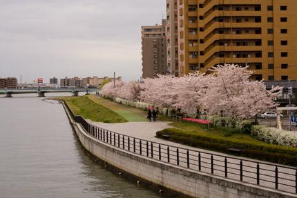 信濃川沿いのソメイヨシノ