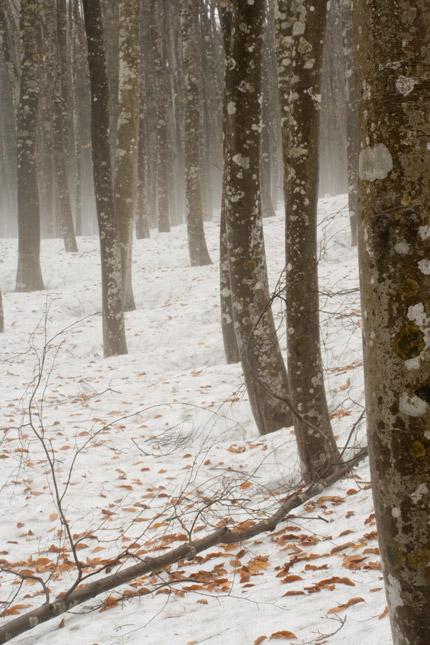 ブナの木々