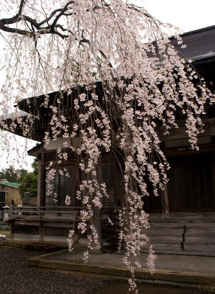 栄恩寺の枝垂れ桜