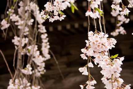 散り始めの枝垂れ桜