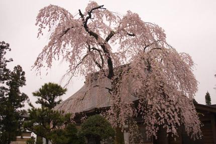 本善寺の枝垂れ桜