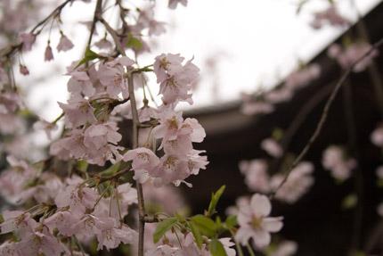 お寺には、枝垂れ桜
