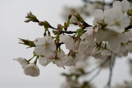家の方が大島桜と教えてくれました