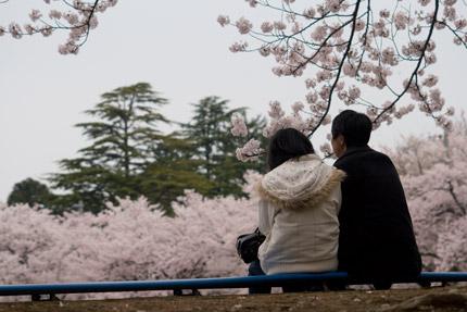 陸上競技場にて桜を見る