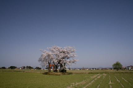 田の中の神社に咲くソメイヨシノ