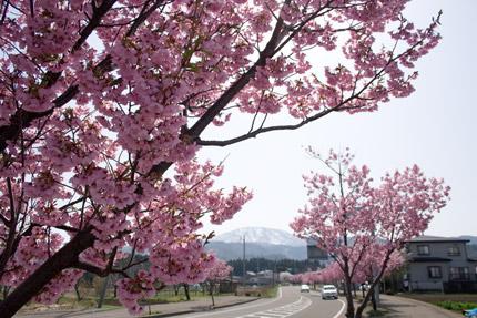 上越高田インター近くの八重桜