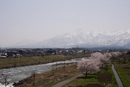 妙高山と矢代川のソメイヨシノ