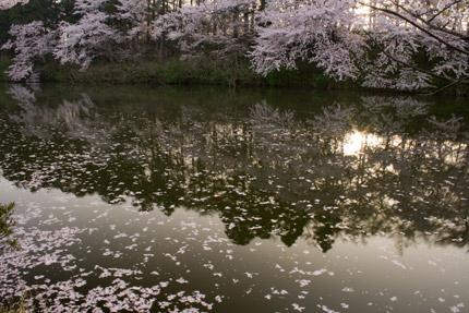 朝日に照らされた散り桜