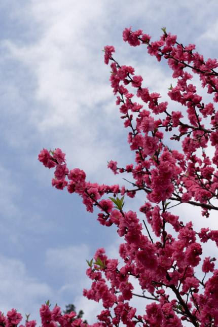 上越では、よく見かける桃の花